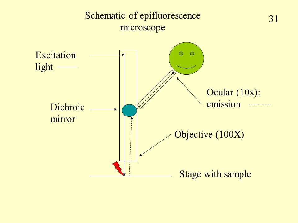Schematic of epifluorescence microscope Stage with sample Excitation light Objective (100X) Dichroic mirror Ocular (10x): emission 31