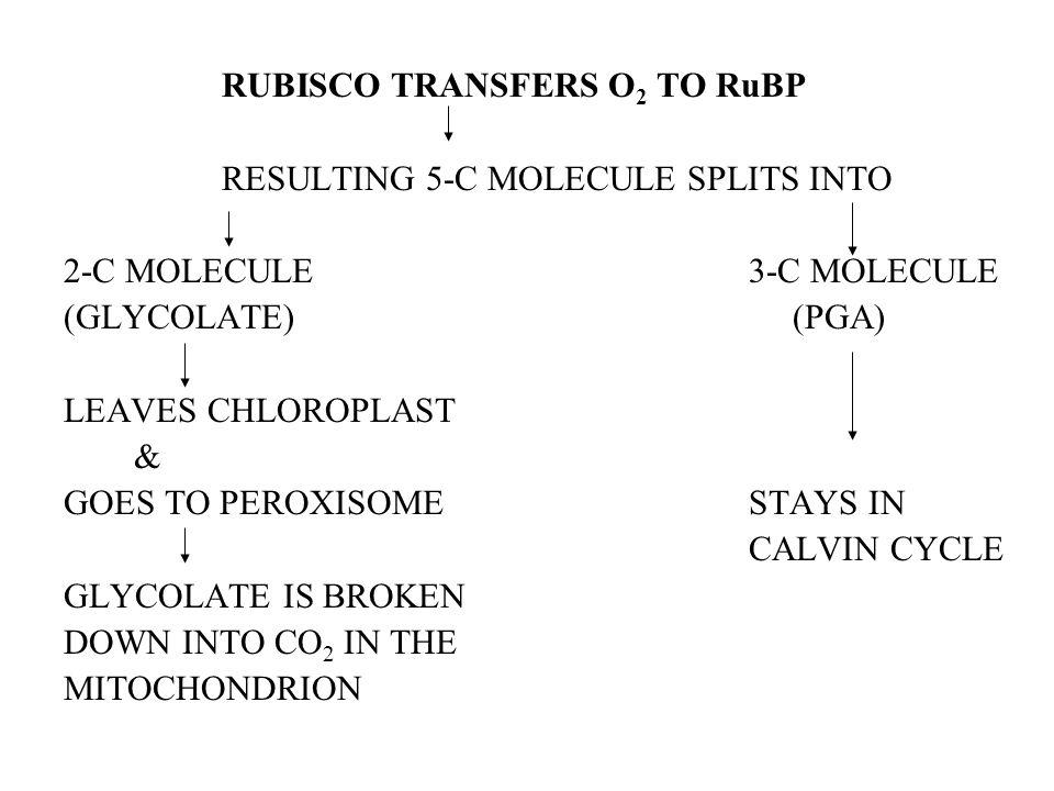 RUBISCO TRANSFERS O 2 TO RuBP RESULTING 5-C MOLECULE SPLITS INTO 2-C MOLECULE3-C MOLECULE (GLYCOLATE) (PGA) LEAVES CHLOROPLAST & GOES TO PEROXISOMESTA