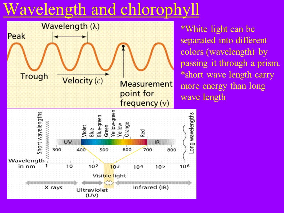 Wavelength and chlorophyll *White light can be separated into different colors (wavelength) by passing it through a prism.