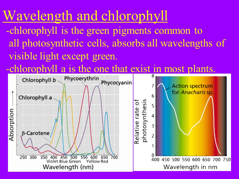 Wavelength and chlorophyll -chlorophyll is the green pigments common to all photosynthetic cells, absorbs all wavelengths of visible light except green.