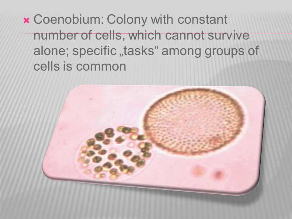 " Coenobium: Colony with constant number of cells, which cannot survive alone; specific ""tasks among groups of cells is common"