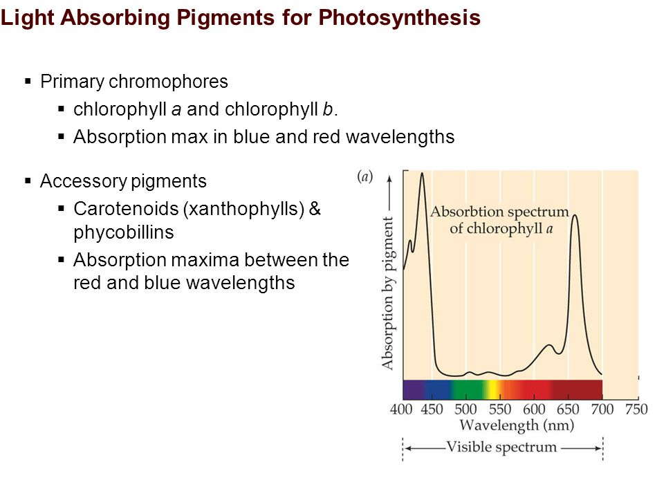 Light Absorbing Pigments for Photosynthesis  Primary chromophores  chlorophyll a and chlorophyll b.