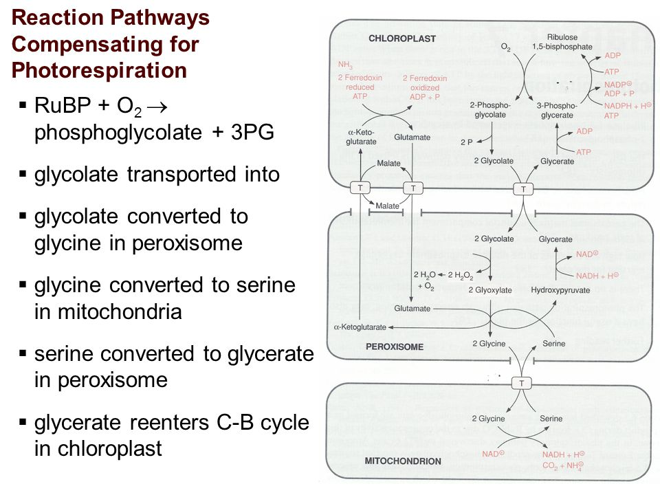 Reaction Pathways Compensating for Photorespiration  RuBP + O 2  phosphoglycolate + 3PG  glycolate transported into  glycolate converted to glycine in peroxisome  glycine converted to serine in mitochondria  serine converted to glycerate in peroxisome  glycerate reenters C-B cycle in chloroplast