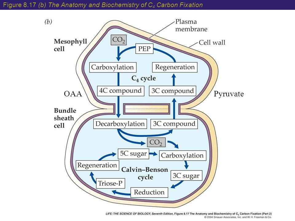 Figure 8.17 (b) The Anatomy and Biochemistry of C 4 Carbon Fixation OAAPyruvate