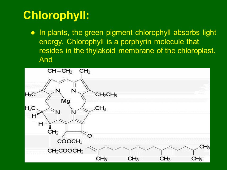 Chlorophyll: In plants, the green pigment chlorophyll absorbs light energy.