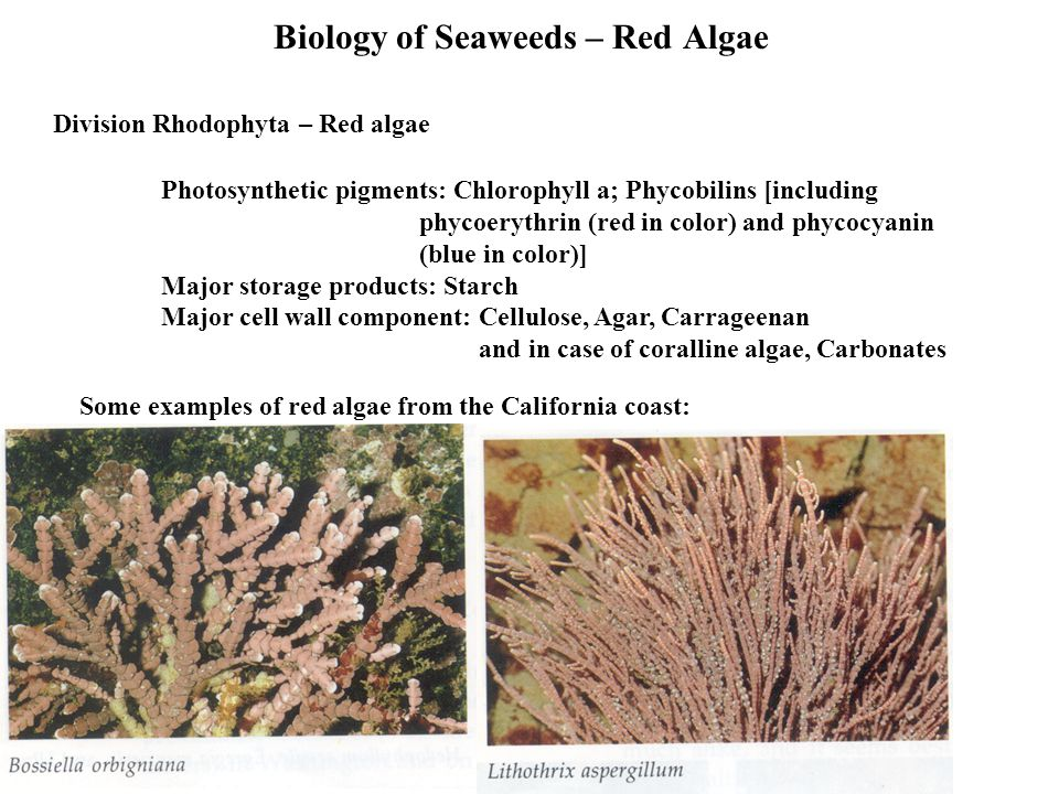 Biology of Seaweeds – Red Algae Photosynthetic pigments: Chlorophyll a; Phycobilins [including phycoerythrin (red in color) and phycocyanin (blue in color)] Major storage products: Starch Major cell wall component: Cellulose, Agar, Carrageenan and in case of coralline algae, Carbonates Division Rhodophyta – Red algae Some examples of red algae from the California coast: