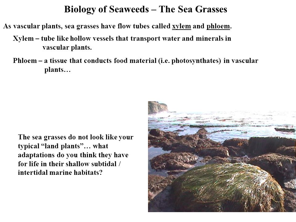 Biology of Seaweeds – The Sea Grasses As vascular plants, sea grasses have flow tubes called xylem and phloem.