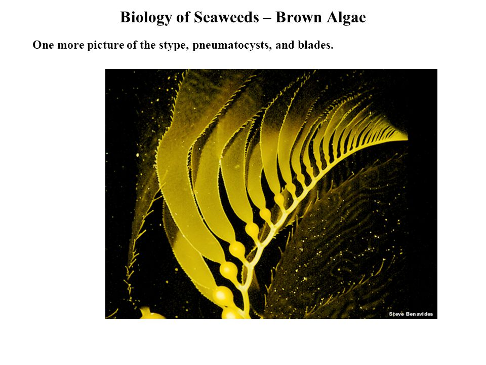 Biology of Seaweeds – Brown Algae One more picture of the stype, pneumatocysts, and blades.
