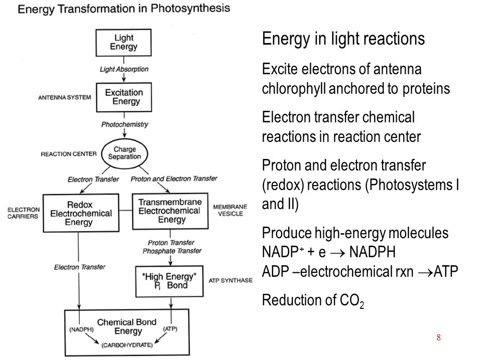 9 Photosystem II PSII is composed of polypeptides P680 and redox components (chlorophyll, pheophytin, plastoquinone, tyrosine, Mn, Fe, cytochrome b559, carotenoid and histidine) light-induced electron transfer drive the oxidation of water and the reduction of plastoquinone PQ Cytochrome b559 must be present, but its involvement in reaction is unknown.