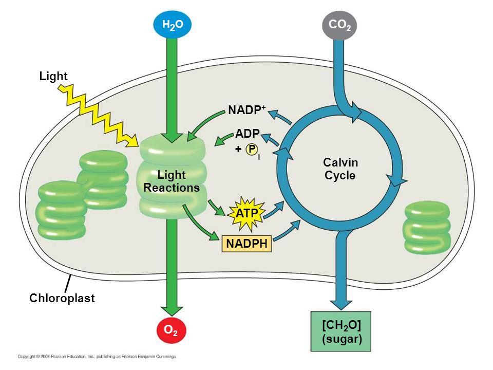 Light H2OH2O Chloroplast Light Reactions NADP + P ADP i + ATP NADPH O2O2 Calvin Cycle CO 2 [CH 2 O] (sugar)