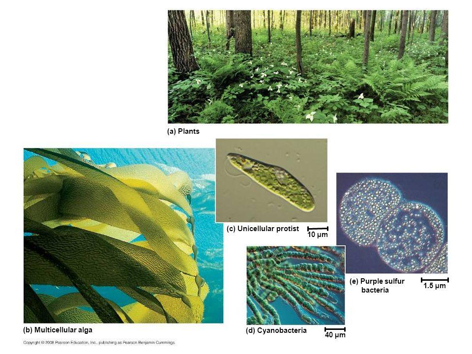 (a) Plants (c) Unicellular protist 10 µm 1.5 µm 40 µm (d) Cyanobacteria (e) Purple sulfur bacteria (b) Multicellular alga