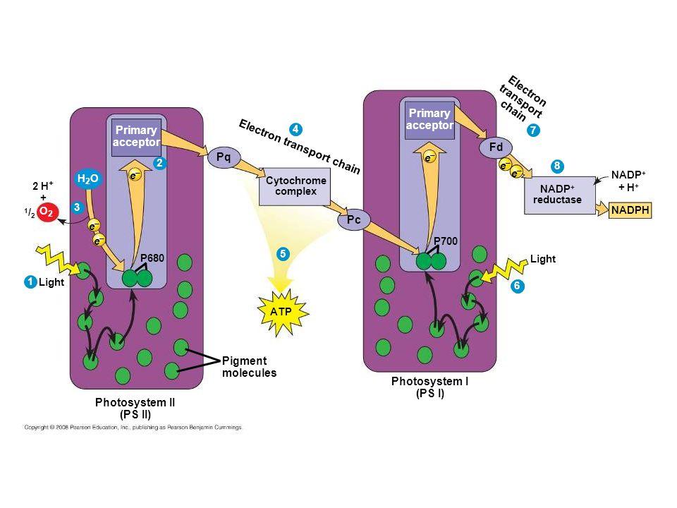 Pigment molecules Light P680 e–e– Primary acceptor 2 1 e–e– e–e– 2 H + O2O2 + 3 H2OH2O 1/21/2 4 Pq Pc Cytochrome complex Electron transport chain 5 ATP Photosystem I (PS I) Light Primary acceptor e–e– P700 6 Fd Electron transport chain NADP + reductase NADP + + H + NADPH 8 7 e–e– e–e– 6 Photosystem II (PS II)