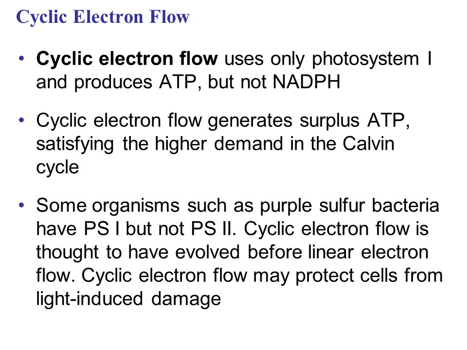 Cyclic Electron Flow Cyclic electron flow uses only photosystem I and produces ATP, but not NADPH Cyclic electron flow generates surplus ATP, satisfying the higher demand in the Calvin cycle Some organisms such as purple sulfur bacteria have PS I but not PS II.