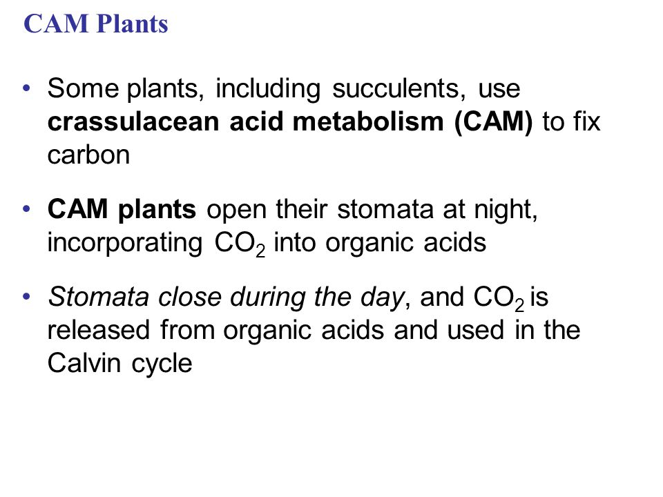 CAM Plants Some plants, including succulents, use crassulacean acid metabolism (CAM) to fix carbon CAM plants open their stomata at night, incorporating CO 2 into organic acids Stomata close during the day, and CO 2 is released from organic acids and used in the Calvin cycle