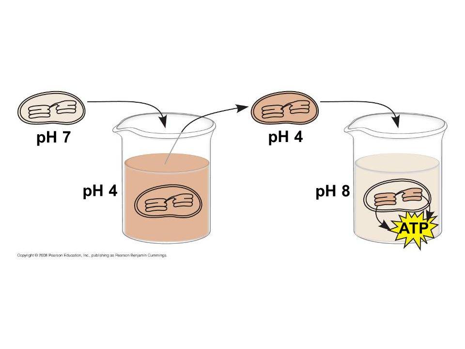 pH 7 pH 4 pH 8 ATP