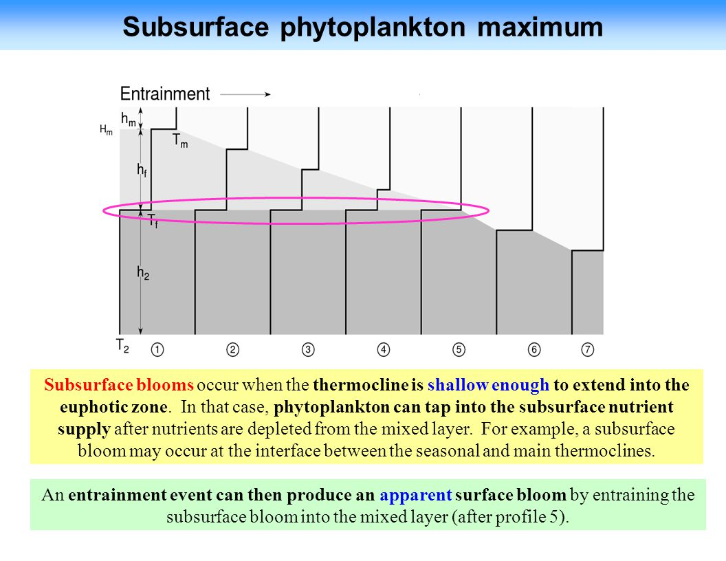 Subsurface phytoplankton maximum An entrainment event can then produce an apparent surface bloom by entraining the subsurface bloom into the mixed layer (after profile 5).