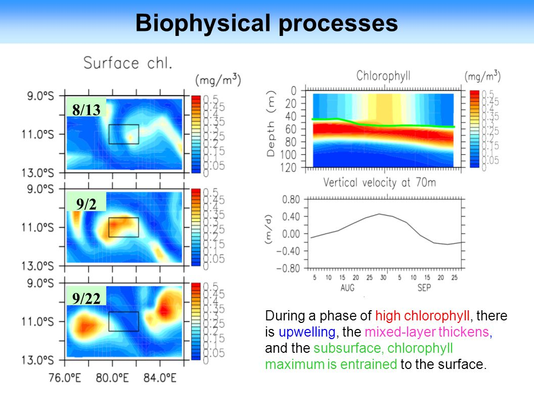 Biophysical processes 8/13 9/2 9/22 During a phase of high chlorophyll, there is upwelling, the mixed-layer thickens, and the subsurface, chlorophyll maximum is entrained to the surface.