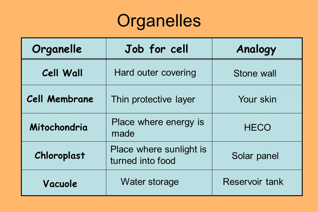 Organelles OrganelleJob for cellAnalogy Cell Wall Cell Membrane Chloroplast Mitochondria Vacuole Hard outer covering Stone wall Thin protective layerYour skin Place where energy is made HECO Place where sunlight is turned into food Solar panel Water storageReservoir tank