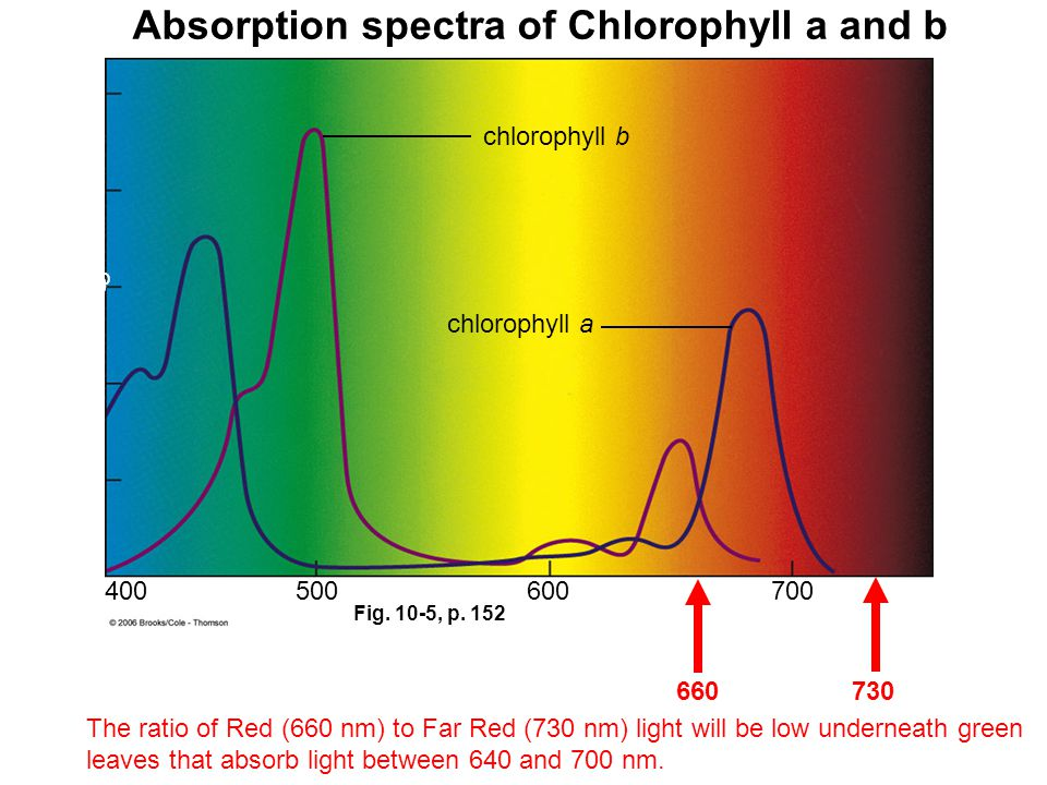 Fig. 10-5, p. 152 Wavelength (nm) 400500600700 0 20 40 60 80 100 chlorophyll b chlorophyll a Percent of light absorbed Absorption spectra of Chlorophy