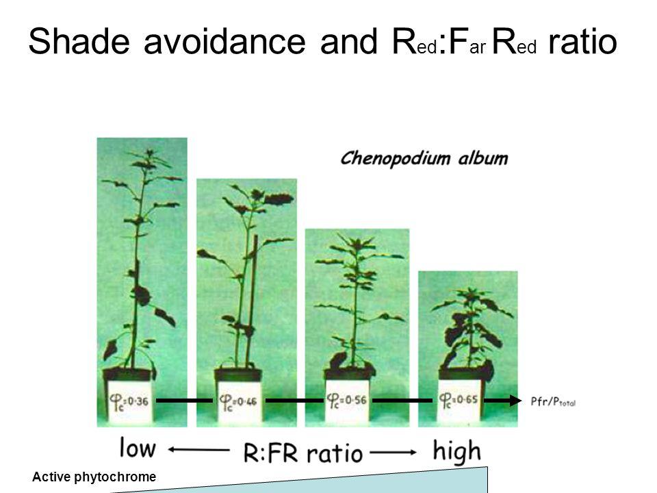 Shade avoidance and R ed :F ar R ed ratio Active phytochrome