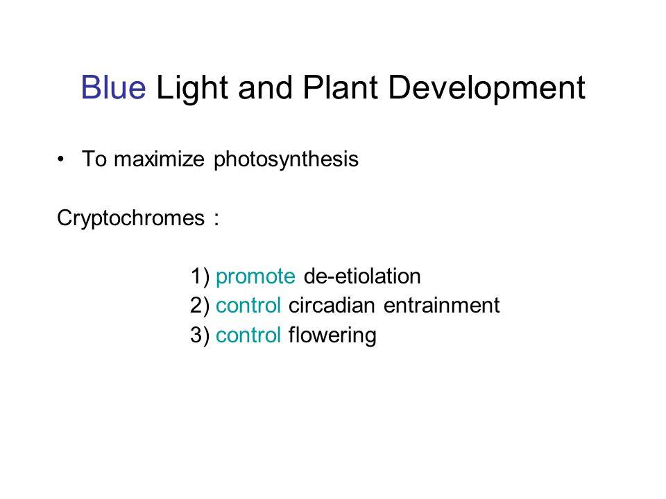 Blue Light and Plant Development To maximize photosynthesis Cryptochromes : 1) promote de-etiolation 2) control circadian entrainment 3) control flowe