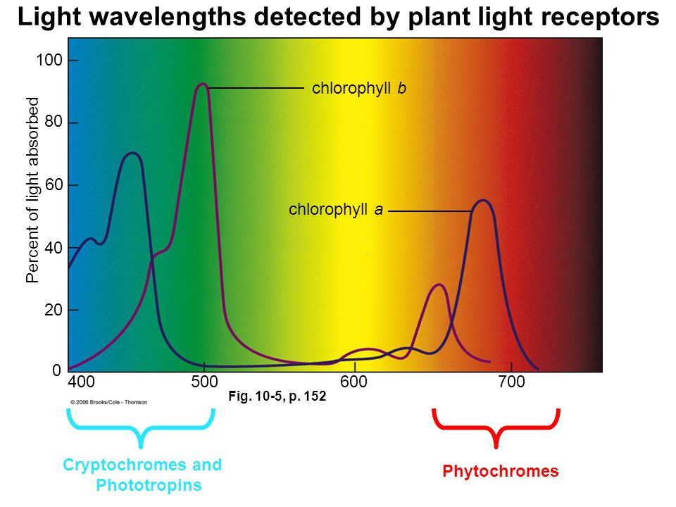 Fig. 10-5, p. 152 Wavelength (nm) 400500600700 0 20 40 60 80 100 chlorophyll b chlorophyll a Percent of light absorbed Light wavelengths detected by p