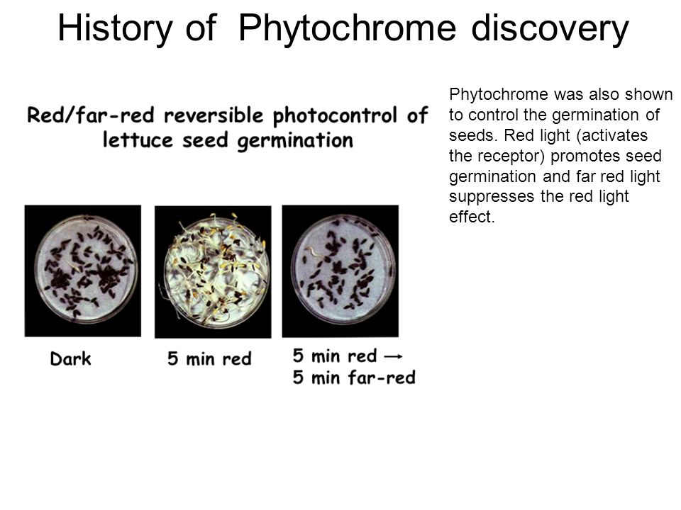 History of Phytochrome discovery Phytochrome was also shown to control the germination of seeds. Red light (activates the receptor) promotes seed germ