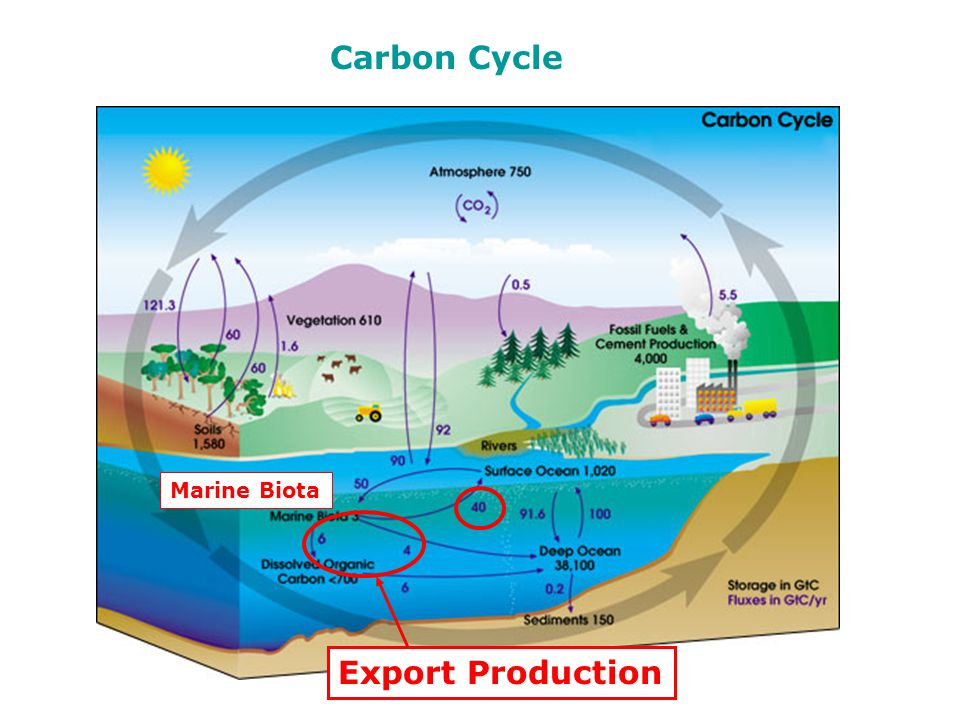 Carbon Cycle Marine Biota Export Production