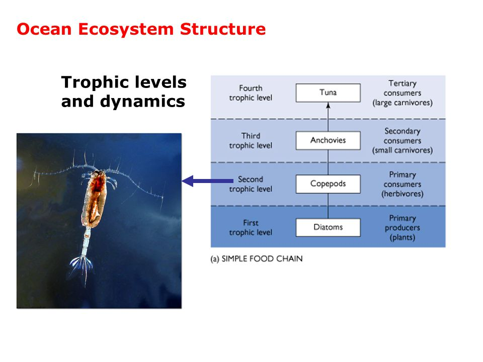 Trophic levels and dynamics Ocean Ecosystem Structure