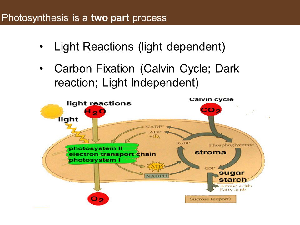 Photosynthesis is a two part process Light Reactions (light dependent) Carbon Fixation (Calvin Cycle; Dark reaction; Light Independent)