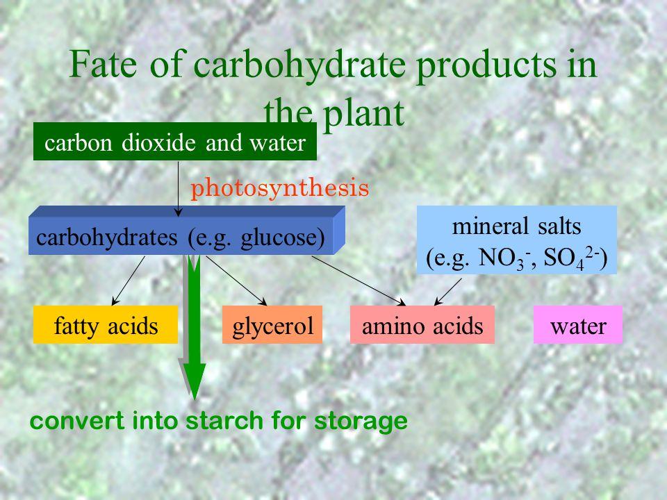 carbohydrates (e.g. glucose) Fate of carbohydrate products in the plant carbon dioxide and water photosynthesis mineral salts (e.g. NO 3 -, SO 4 2- )