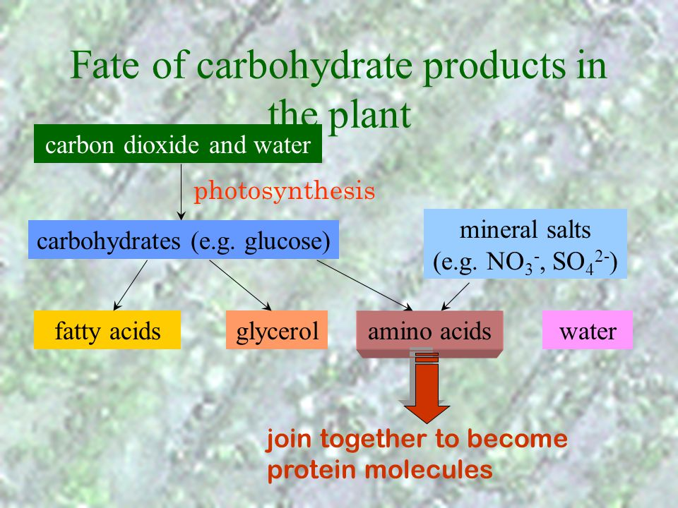 Fate of carbohydrate products in the plant carbon dioxide and water photosynthesis carbohydrates (e.g. glucose) mineral salts (e.g. NO 3 -, SO 4 2- )