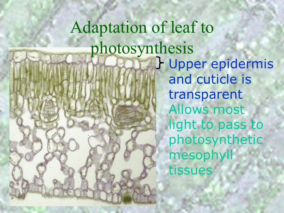 Cross-section of a dicot leaf phloem to transport organic substances away from the leaf
