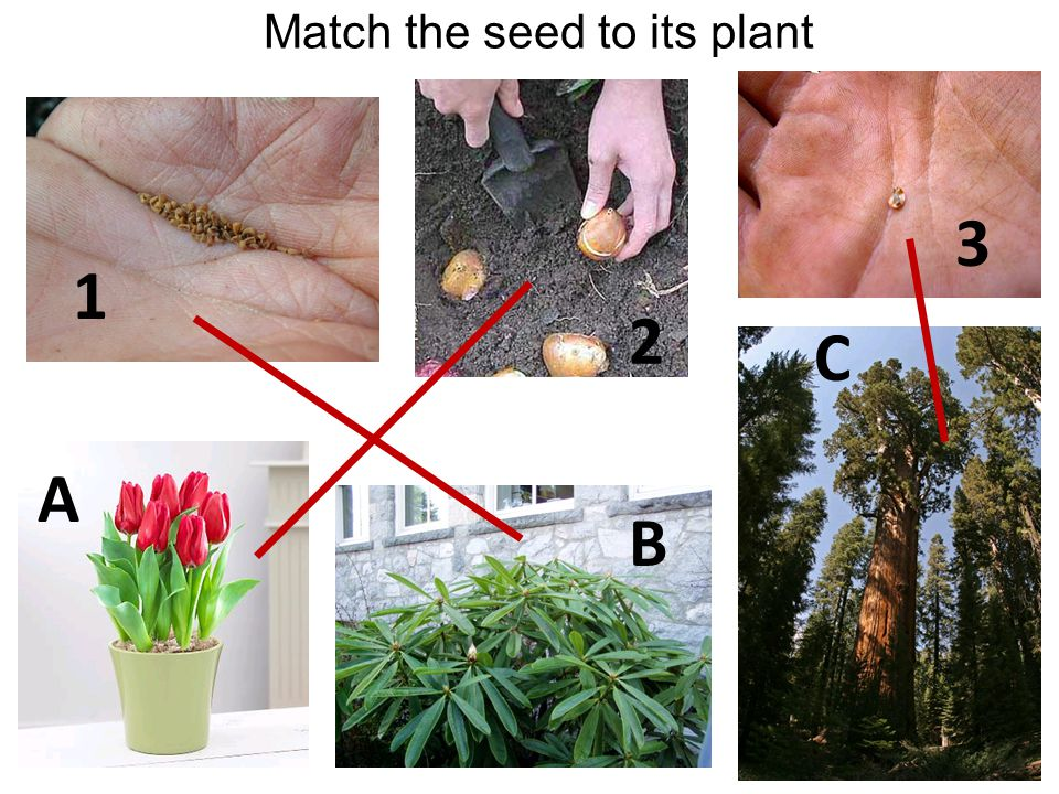 Match the seed to its plant 1 2 3 A B C
