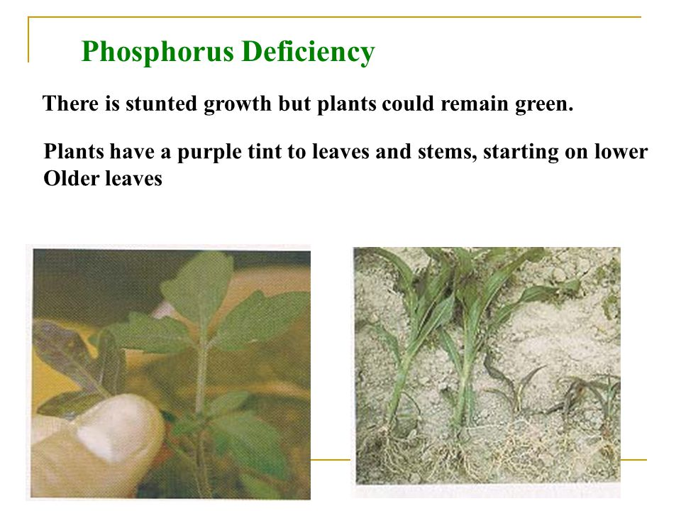 Phosphorus Deficiency There is stunted growth but plants could remain green.