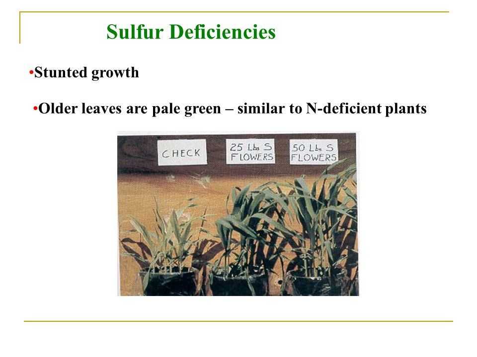 Sulfur Deficiencies Stunted growth Older leaves are pale green – similar to N-deficient plants