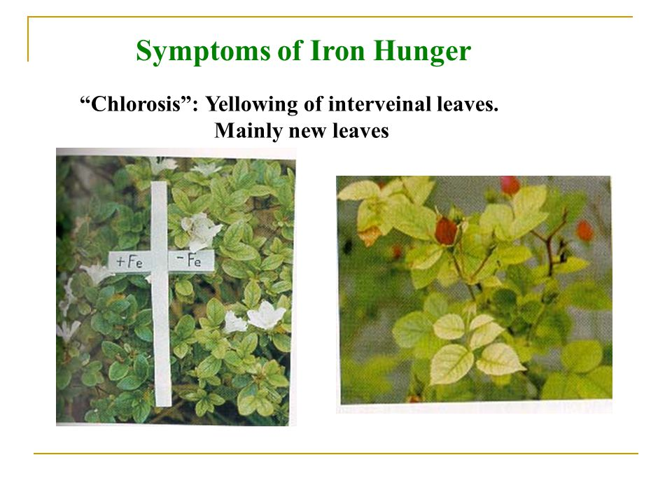 Symptoms of Iron Hunger Chlorosis : Yellowing of interveinal leaves. Mainly new leaves