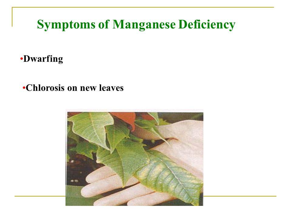 Symptoms of Manganese Deficiency Dwarfing Chlorosis on new leaves