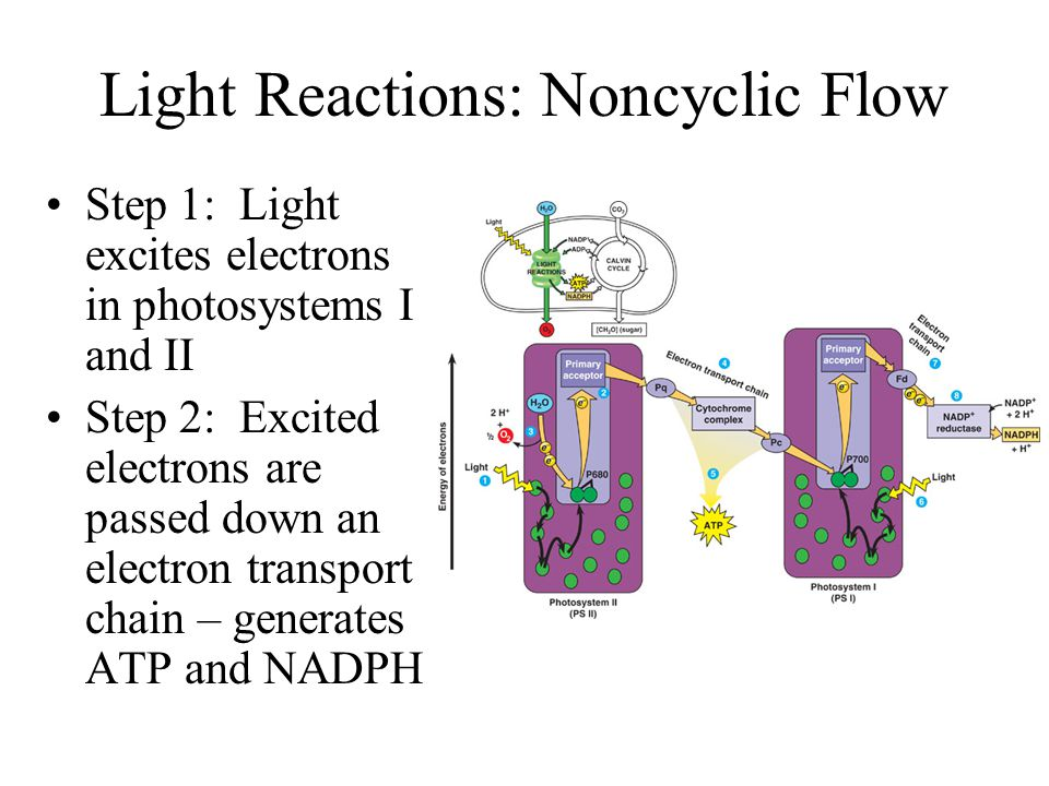 Light Reactions: Photosystems Photosystems are the complex of pigments that receives the sunlight to begin the process Photosystems absorb energy to e