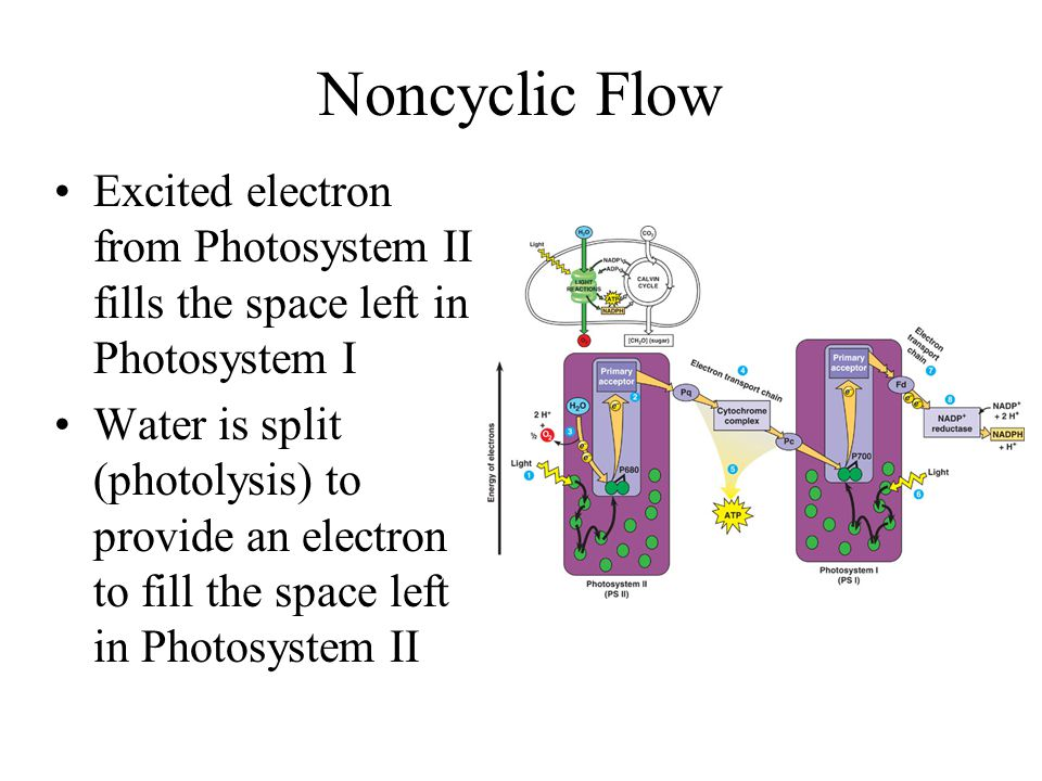 Light Reactions: Noncyclic Flow Step 1: Light excites electrons in photosystems I and II Step 2: Excited electrons are passed down an electron transpo