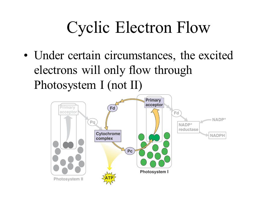 Noncyclic Flow Excited electron from Photosystem II fills the space left in Photosystem I Water is split (photolysis) to provide an electron to fill the space left in Photosystem II