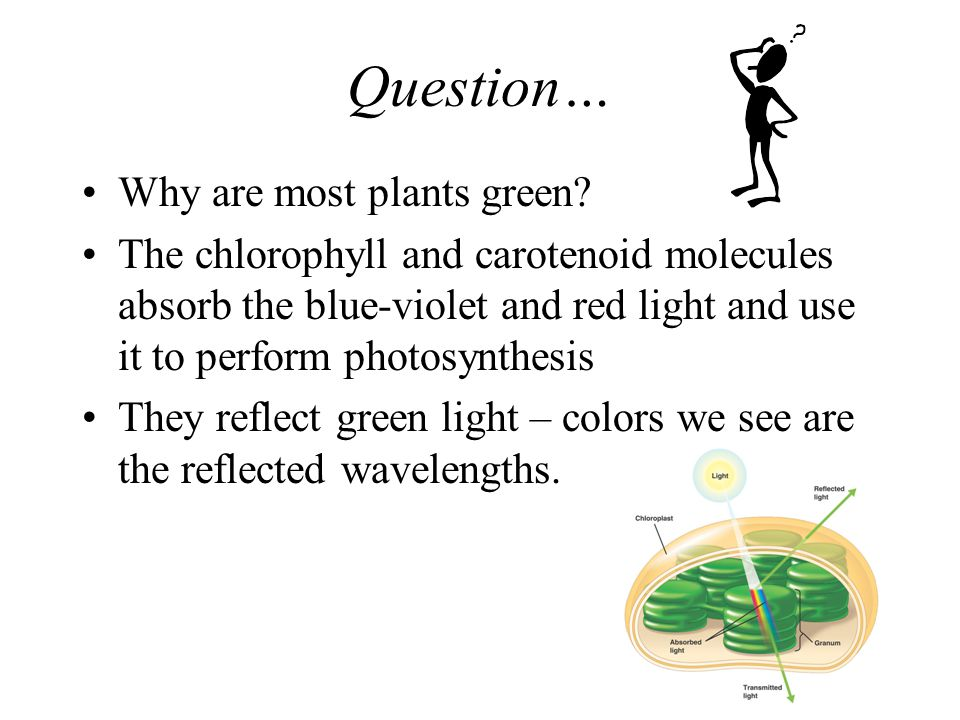 Light Reactions Photosynthetic pigments in the chloroplast absorb different wavelengths –Chlorophyll a –Chlorophyll b –Carotenoids