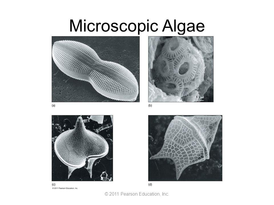 © 2011 Pearson Education, Inc. Microscopic Algae
