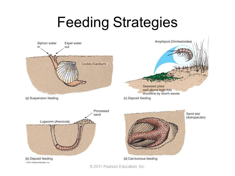 © 2011 Pearson Education, Inc. Feeding Strategies