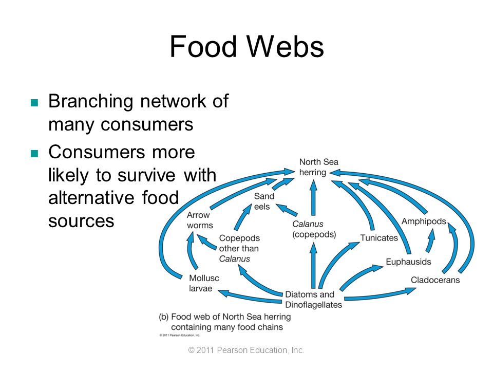© 2011 Pearson Education, Inc. Food Webs Branching network of many consumers Consumers more likely to survive with alternative food sources