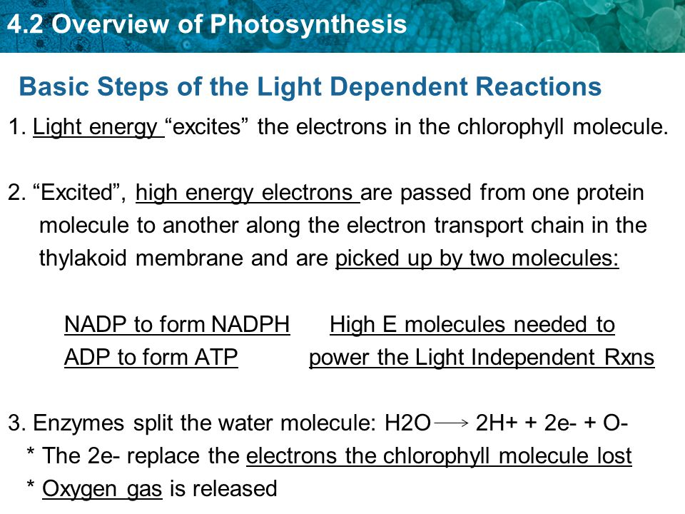 """4.2 Overview of Photosynthesis Basic Steps of the Light Dependent Reactions 1. Light energy """"excites"""" the electrons in the chlorophyll molecule. 2. """"E"""
