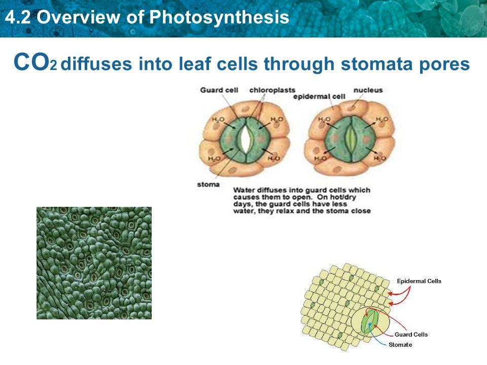 CO 2 diffuses into leaf cells through stomata pores