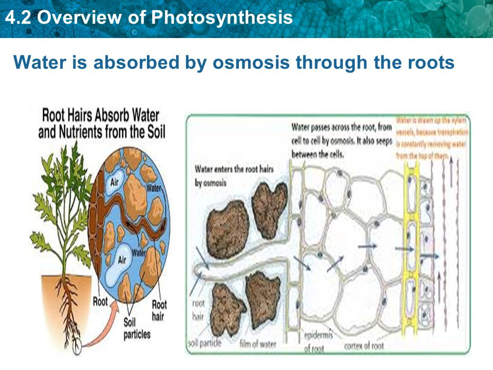 4.2 Overview of Photosynthesis Water is absorbed by osmosis through the roots