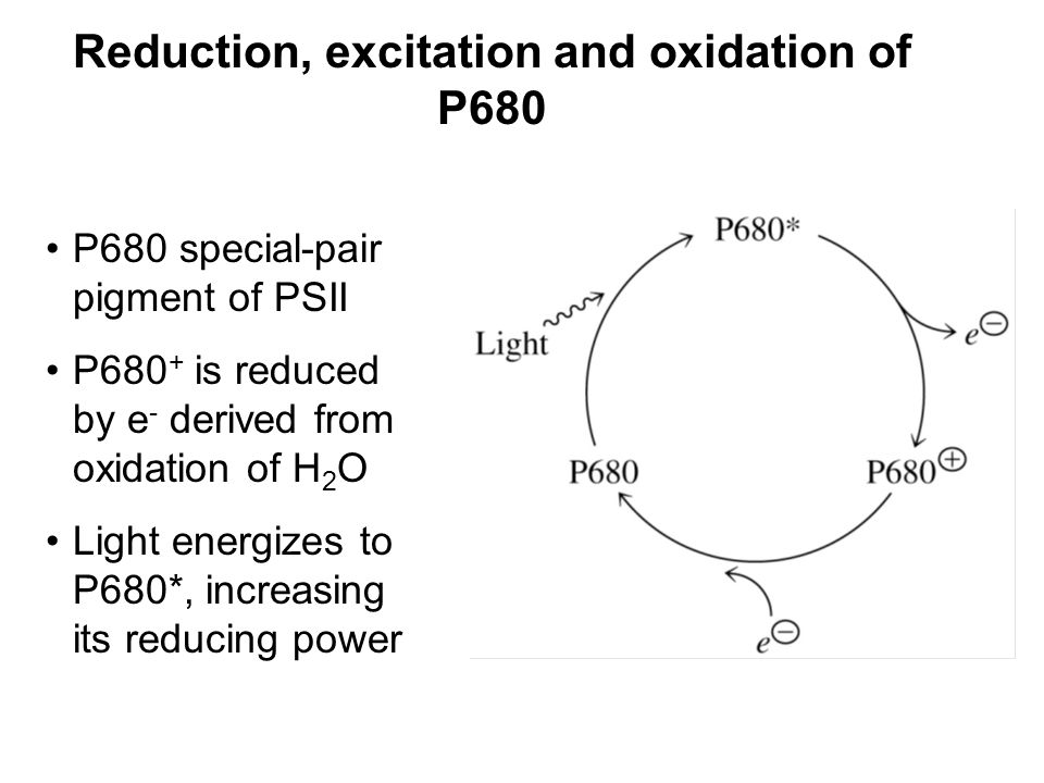 Reduction, excitation and oxidation of P680 P680 special-pair pigment of PSII P680 + is reduced by e - derived from oxidation of H 2 O Light energizes to P680*, increasing its reducing power