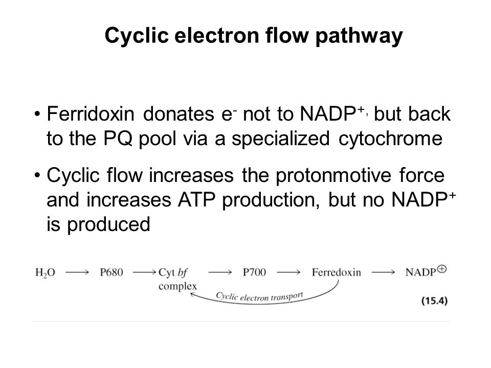 Cyclic electron flow pathway Ferridoxin donates e - not to NADP +, but back to the PQ pool via a specialized cytochrome Cyclic flow increases the protonmotive force and increases ATP production, but no NADP + is produced
